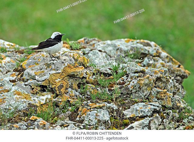 Pied Wheatear Oenanthe pleschanka adult male, perched on rock, Tulcea, Danube Delta, Dobrogea, Romania, may