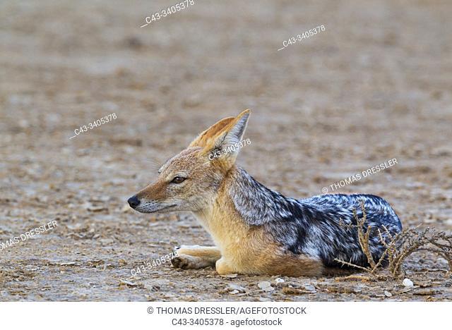 Black-backed Jackal (Canis mesomelas). Resting in the evening. Kalahari Desert, Kgalagadi Transfrontier Park, South Africa