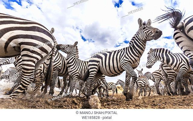 A secretly hidden remote camera captures a herd of Zebras at the river crossing point. Masai Mara National Reserve, Kenya