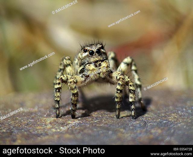 V-jumping spider, Aelurillus v-insignitus, female