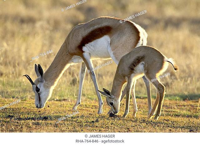 Mother and young springbok Antidorcas marsupialis, Mountain Zebra National Park, South Africa, Africa