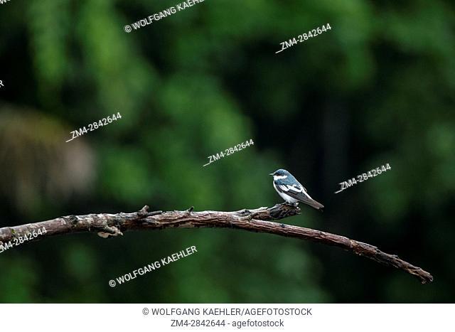 A white-winged swallow (Tachycineta albiventer) is perched on a stick along the Rio Napo in the rain forest near La Selva Lodge near Coca, Ecuador