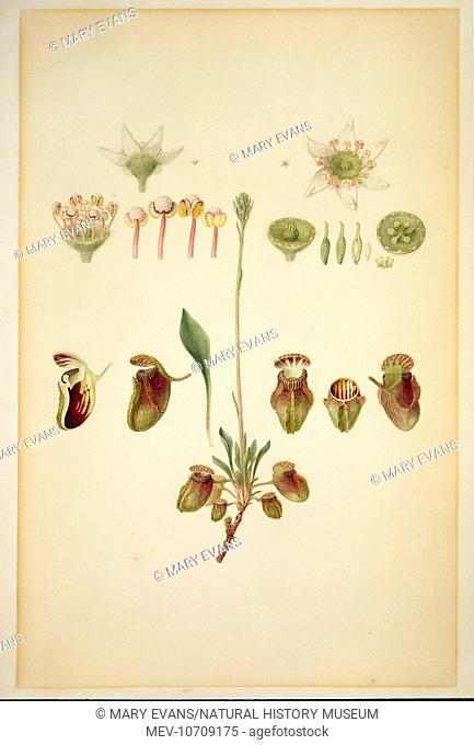Plate 42 from Botanical Drawings from Australia (1801) by Ferdinand L Bauer (1760-1826)