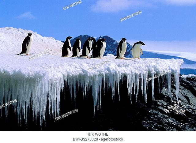 adelie penguin Pygoscelis adeliae, group standing on ice formation, Antarctica, Hope Bay