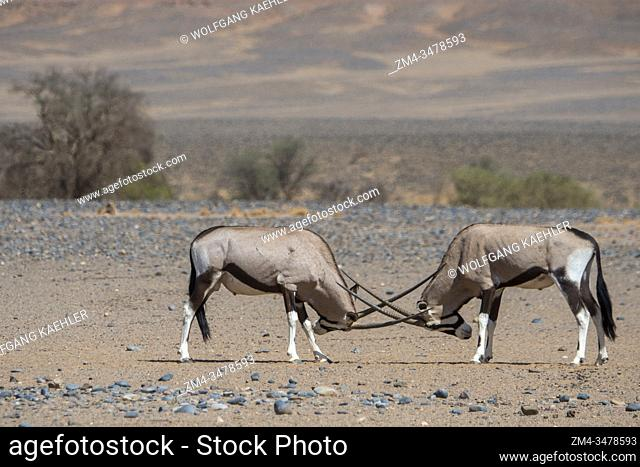 Two male South African oryxes (Oryx gazellaat), also called Gemsbok or gemsbuck, fighting in the desert landscape of Sossusvlei