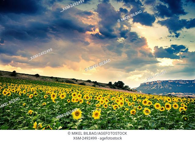 Sunflowers plantation. Tierra Estella county. Navarre, Spain, Europe