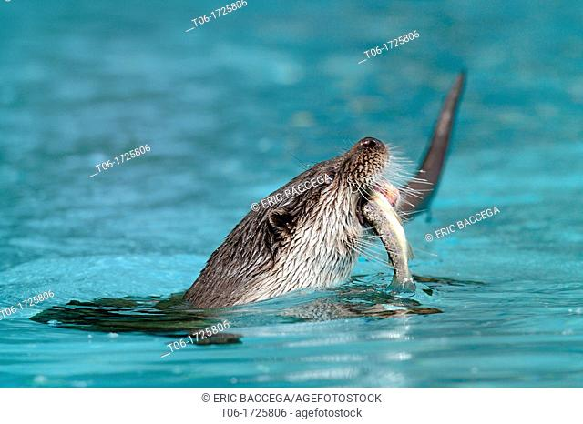 European river otter eating a fish Lutra lutra Captive, Alsace, France