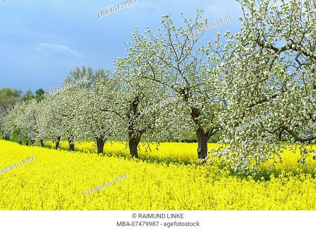 blooming apple trees in rape field, Werbach, Taubertal, Tauberfranken, Main-Tauber-district, Baden-Württemberg, Germany