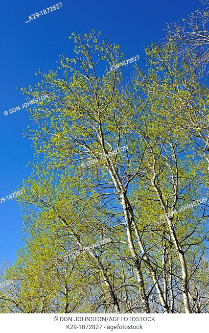 Trembling aspen Populus tremuloides in early spring, Greater Sudbury Whitefish, Ontario, Canada