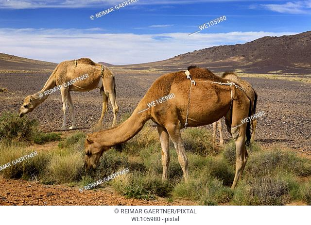 Berber Dromedary camels in diapers grazing on sage brush in Tafilalt basin Morocco