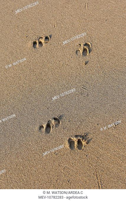 Timor Deer / Rusa Deer / Sunda sambar - tracks on sand (Cervus timorensis)