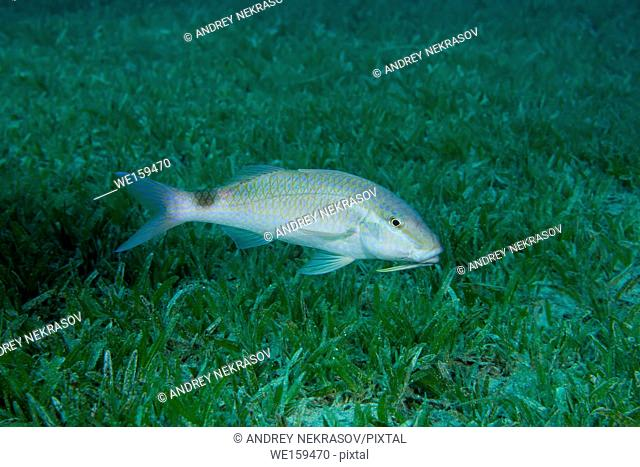 Twospot Goatfish (Parupeneus rubescens) swim over sea gras