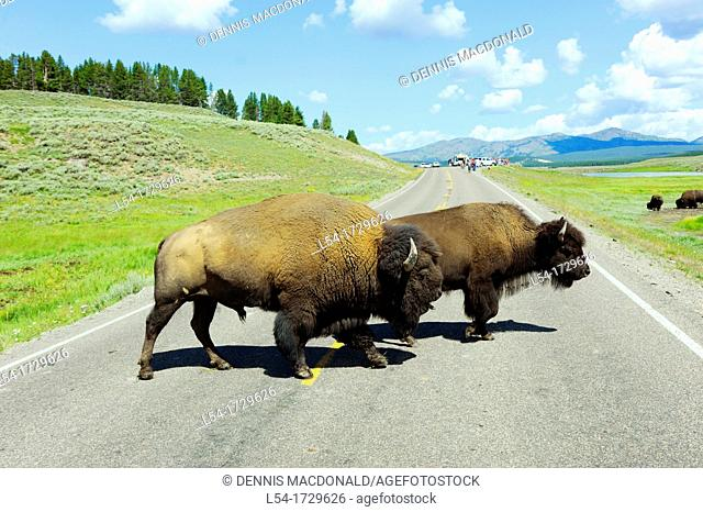 Buffalo Bison Crossing Road Yellowstone National Park Wyoming WY United States