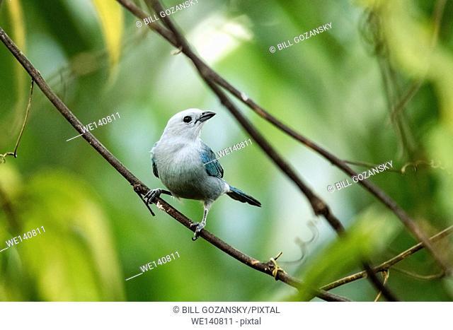 Blue-Gray Tanager - La Laguna del Lagarto Lodge, Boca Tapada, San Carlos, Costa Rica
