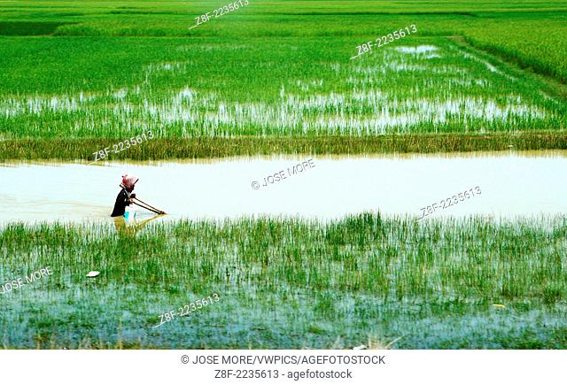 Rural Vietnam rice paddies and deepwater rice are varieties of rice, Oryza sativa, grown in flooded conditions with water more than 50 cm or 20 inches deep for...