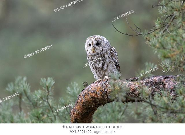 Tawny Owl / Brown Owl / Waldkauz ( Strix aluco ), commonly found in woodlands across much of Eurasia, roosting in a pine tree