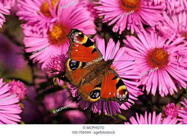 Tagpfauenauge auf Neuengland-Aster (Vanessa atalanta) Peacock Butterfly on New England Aster + Ostalbkreis, Baden Wuerttemberg, Deutschland