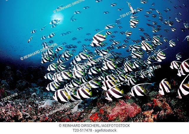 Pennant bannerfish, Heniochus diphreutes. Indian Ocean, Ari Atoll. Maldives Islands
