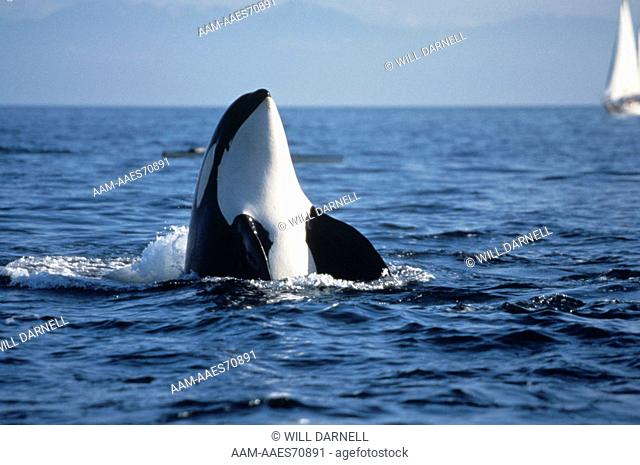 Orca - Killer Whale (Orcinus orca) spy-hopping, Pacific Northwest