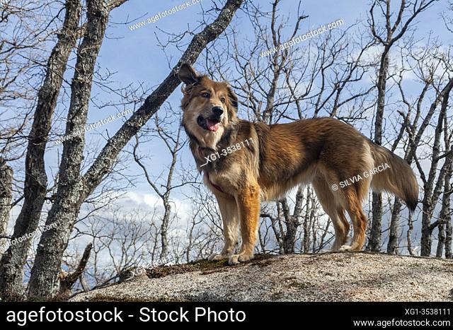 Dog enjoying nature, Route to the Machotas, Zarzalejo and El Escorial, Madrid