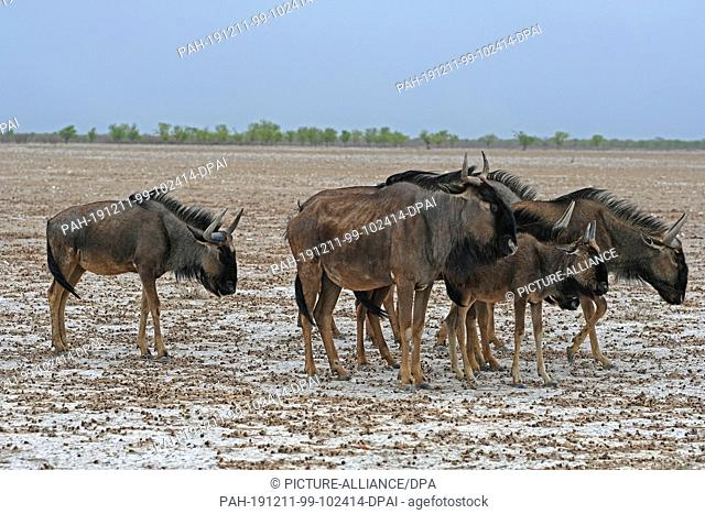 27 November 2019, Namibia, Etosha-Nationalpark: Striped wildebeest in Etosha National Park. Photo: Oliver Berg/dpa. - Etosha-Nationalpark/Namibia
