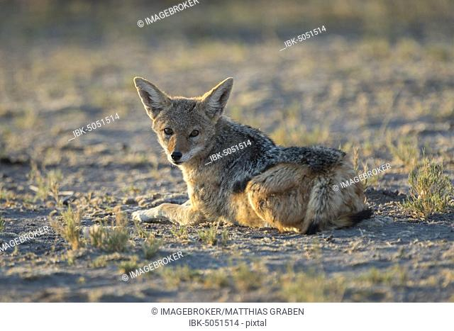 Black-backed Jackal (Canis mesomelas) rests in the morning sun, Nxai Pan National Park, Ngamiland, Botswana, Africa