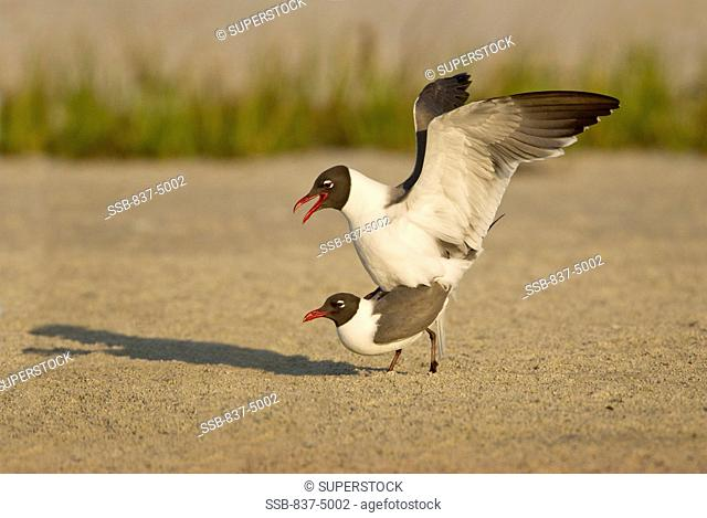 Close up of Laughing Gulls  Larus atricilla mating on beach