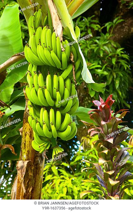 Bananas on the tree near Castries, St  Lucia, West Indies