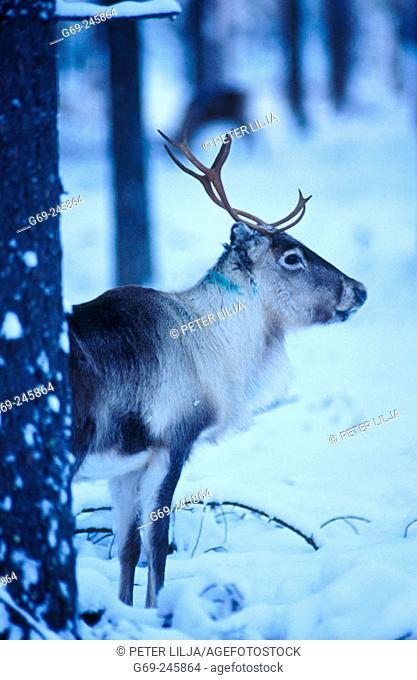 A reindeer (Rangifer tarandus). Sweden