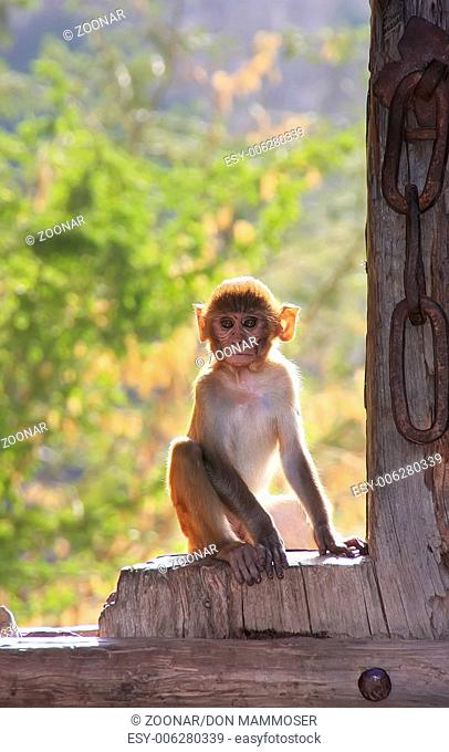 Rhesus macaque (Macaca mulatta) sitting on gate of