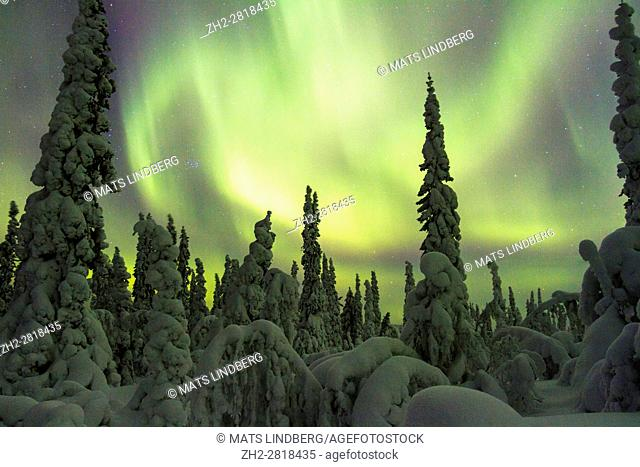 Northern light, Aurora borealis, over forest in winter season, plenty of snow hanging on the trees, Gällivare, Swedish Lapland, Sweden