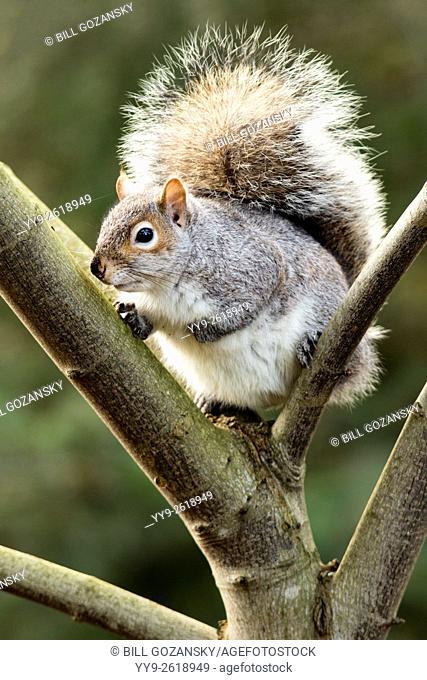 Eastern grey squirrel (Sciurus carolinensis) - Beacon Hill Park, Victoria, Vancouver Island, British Columbia, Canada