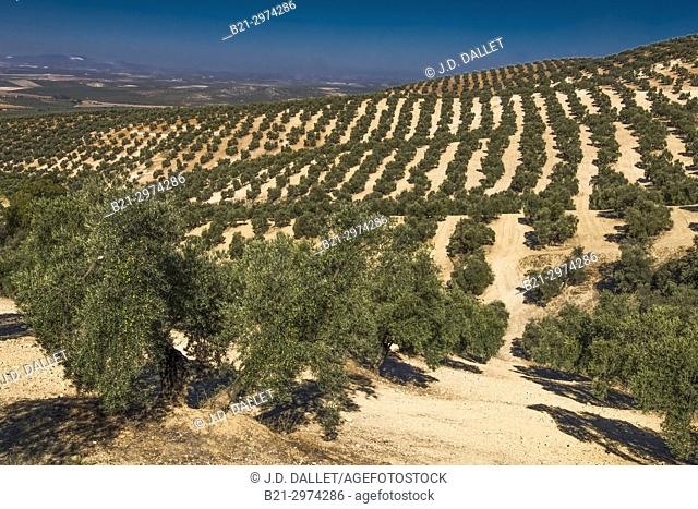 Spain, Andalusia, Malaga Province, Olive trees plantations by Antequera