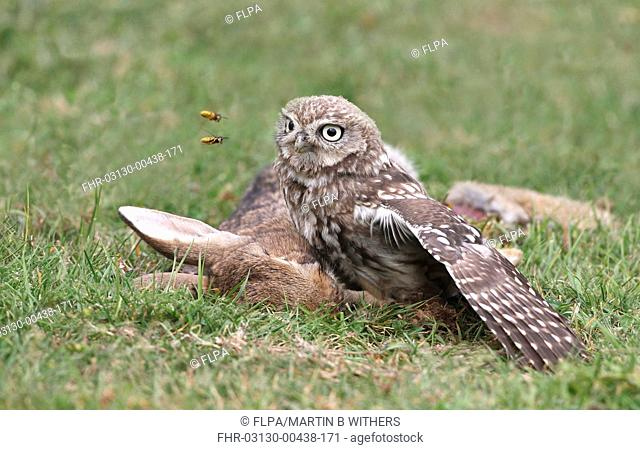 Little Owl Athene noctua adult, feeding, scavenging on European Rabbit Oryctolagus cuniculus carcass, being troubled by wasps, Leicestershire, England, july