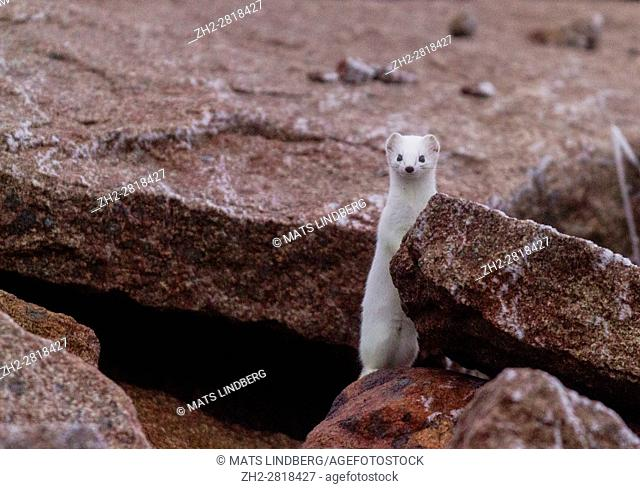 Ermine, Mustela erminea, having white winter fur, standing on his back legs, looking up among rocks looking in to the camera