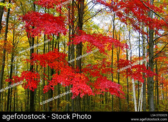 Beautiful red and golden maple trees in their Fall colors in Southeast Michigan MI near Detroit