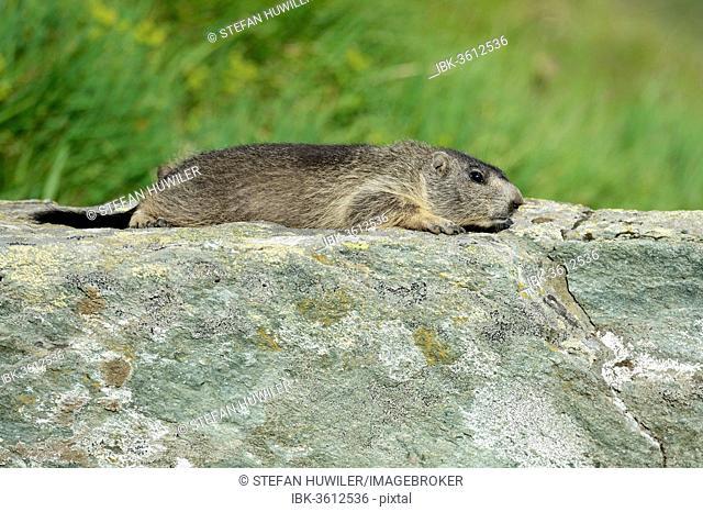 Young Alpine Marmot (Marmota marmota) basking on a rock slab, Grossglockner, Hohe Tauern National Park, Tyrol, Austria