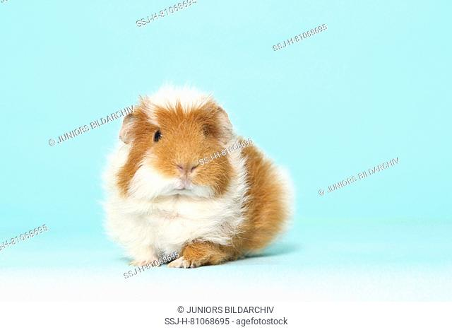 US-Teddy Guinea Pig, seen head-on. Studio picture against a light blue background