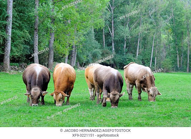 Beef cattle. Villanovilla. Pirineos mountains. Huesca province. Aragón. Spain