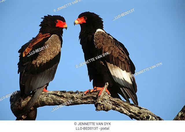 Bataleur Eagle Terathopius ecaudatus Pair Sitting on a Branch  Kruger National Park, Mpumalanga Province, South Africa