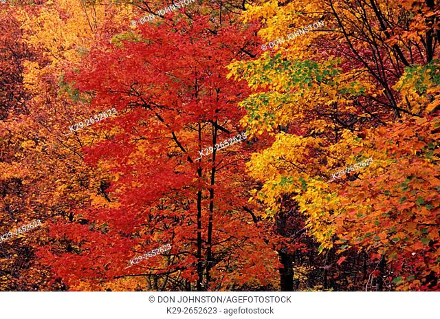 Red maple (Acer rubrum) in autumn colour near Roaring Fork Auto Trail, Great Smoky Mountains National Park, TN, USA
