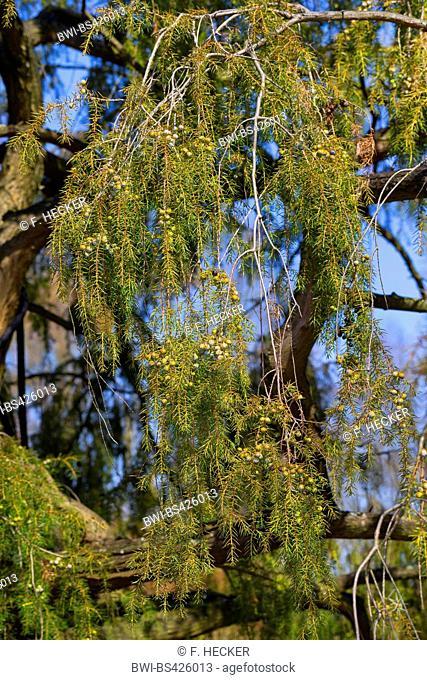 Temple juniper, Needle Juniper (Juniperus rigida), branch with immature berries