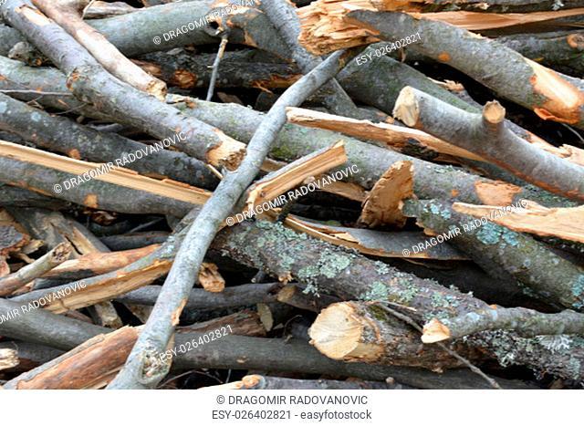 Closeup of beech braches
