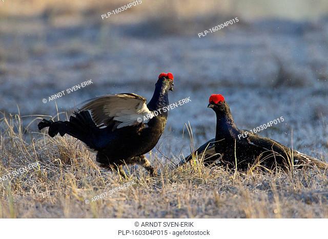 Black grouse (Lyrurus tetrix / Tetrao tetrix) two cocks fighting at lek in spring