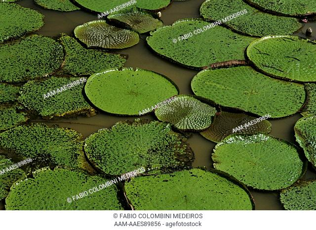 Amazon Water Lilies (Victoria amazonica) Amazonas, Brazil