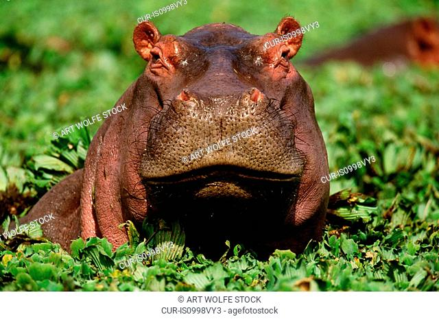 Hippopotamus, Grumeti River, Serengeti National Park, Tanzania