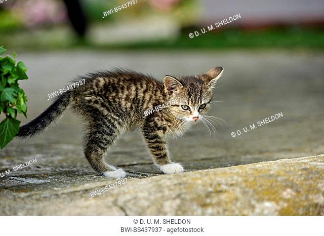 domestic cat, house cat (Felis silvestris f. catus), kitten in a garden, Germany