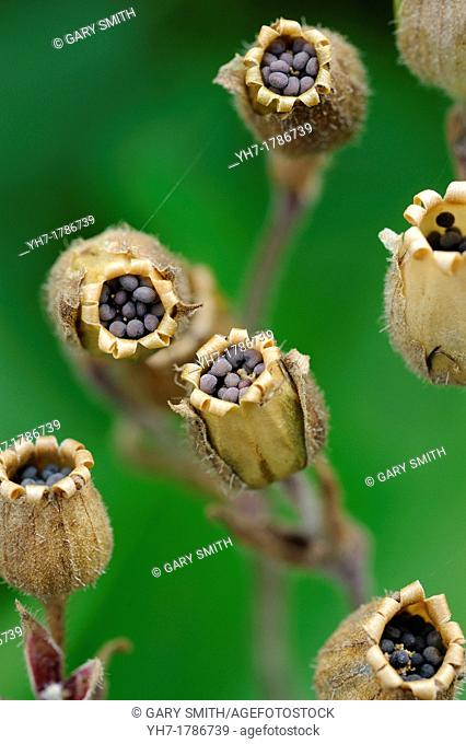 Seed heads of red campion,silene dioica, Norfolk, Engalnd, July