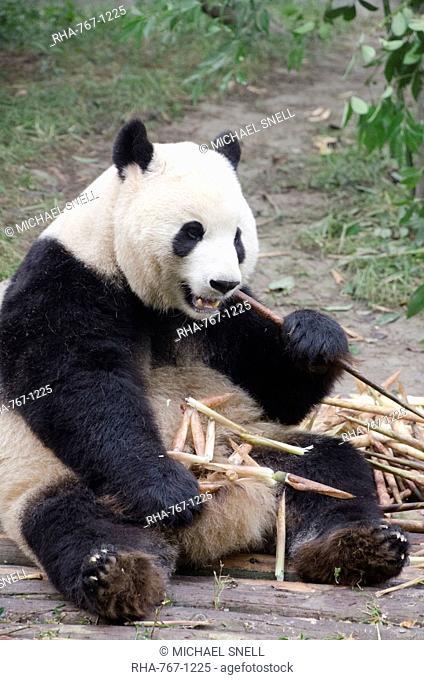 Chengdu Research Base of Giant Panda Breeding, Chengdu, Sichuan Province, China, Asia