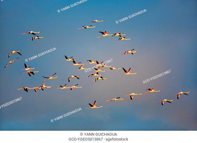 Greater Flamingos, Phoenicopterus roseus, Camargue, France